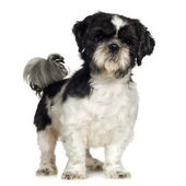 Shih Tzu (5 years) — Stock Photo
