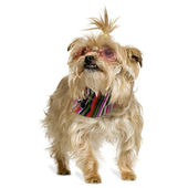 Yorkshire Terrier (4 years) — 图库照片