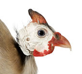 Helmeted guinea fowl - Numida meleagris — Stock Photo