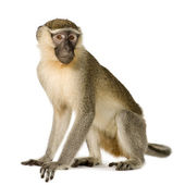 Vervet Monkey - Chlorocebus pygerythrus — Stock Photo