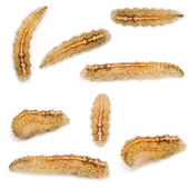 Hoverfly Larvae — Stock Photo