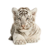 White Tiger cub (2 months) — Stock Photo