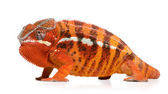 Chameleon Furcifer Pardalis - Sambava (2 years) — Stock Photo