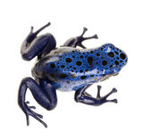 Dendrobates azureus — Stock Photo
