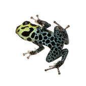 Imitating Poison Frog - Ranitomeya imitator — Stock Photo