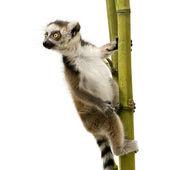 Ring-tailed Lemur (6 weeks) - Lemur catta — Stock Photo