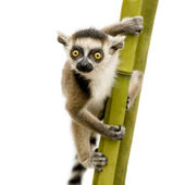 Ring-tailed Lemur (6 weeks) - Lemur catta — Stock Photo
