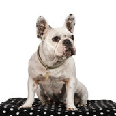French Bulldog (3 years) — Stock Photo