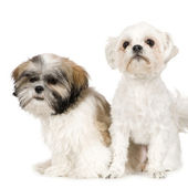Shih Tzu and Lhasa Apso — Stock Photo