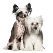 Chinese Crested Dog - Powderpuff — Stock Photo