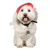 Maltese dog — Stock Photo