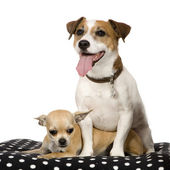 Chihuahua (11 months) and a jack russel (4 years) — Stock Photo