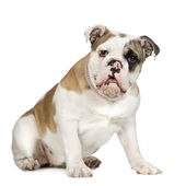 English Bulldog (5 months) — Stock Photo