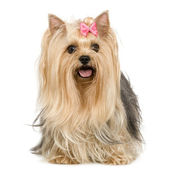 Yorkshire Terrier (6 years) — Stock Photo