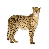 Cheetah - Acinonyx jubatus — Stock Photo