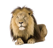 Lion (4 and a half years) - Panthera leo — Stock Photo