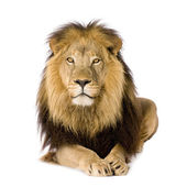 Lion (4 and a half years) - Panthera leo — Foto de Stock