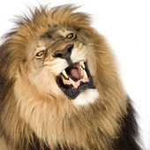 Lion (8 years) - Panthera leo — Stock Photo