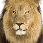 Close-up on a Lion's head (8 years) - Panthera leo — Stock Photo