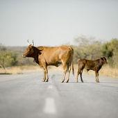 Ko på mitten av vägen — Stockfoto