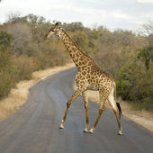 Griraffe crossing the road — Stock Photo