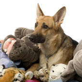 Stack of teddy and a german shepherd — Stock Photo