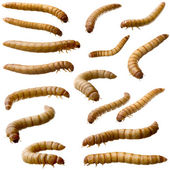 16 Larva of Mealworm - Tenebrio molitor — Stock Photo