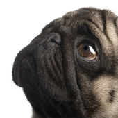 Pug (4 years) — Stock Photo