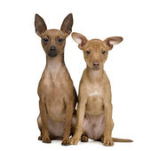 Couple of miniature Pinscher () — Zdjęcie stockowe