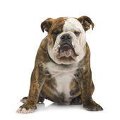 English Bulldog (6 months) — Stock Photo