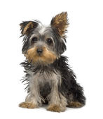 Yorkshire Terrier puppy (3 months) — Stock Photo