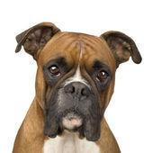 Boxer (2 years) — Stock Photo