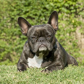 French Bulldog () — Stock Photo