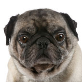 Pug (6 years) — Stock Photo