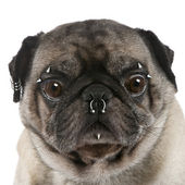 Portrait of pug with nose and face piercings in front of white b — Stock Photo