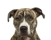 American Staffordshire terrier (18 months) in front of a white background — Stock Photo