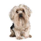 Yorkshire Terrier (5 years) — Stock Photo