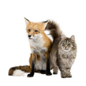 A Fox and a cat — Stock Photo