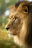Close-up of Lion — Stock Photo