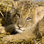 Lion Cub (7 weeks) — Stock Photo