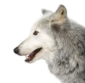 Mackenzie Valley Wolf (8 years) - Canis lupus occidentalis — Stock Photo
