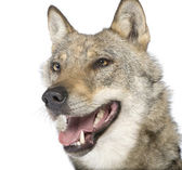 Close-up on a old European wolf - Canis lupus lupus — Stock Photo