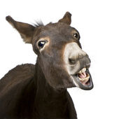 Donkey (4 years) — Stock Photo