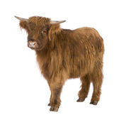 Young Highland Cow — Stock Photo
