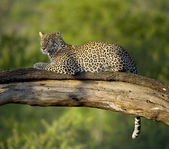 Leopard in the serengeti national reserve — Stock Photo