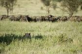Un león está ocultando por una manada de ñus — Foto de Stock