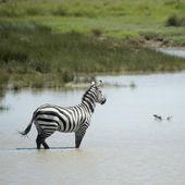 Zebra in water — Stock Photo