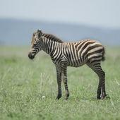 Young zebra at the Serengeti — Stock Photo