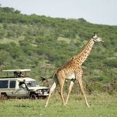 Girafe in the Serengeti passing in front of tourist — Stock Photo