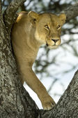Lioness in the tree — Stock Photo